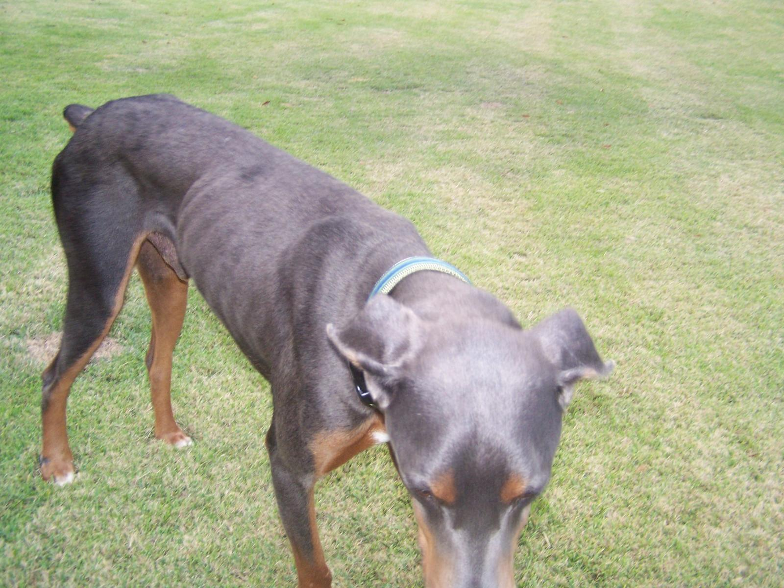 Blue Doberman Skin Conditions