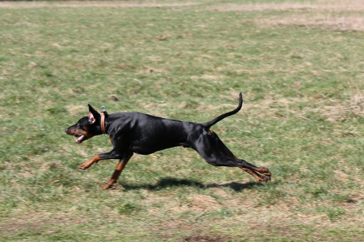 Natural Ears And Tail Pictures Please Page 3 Doberman Forum Doberman Breed Dog Forums
