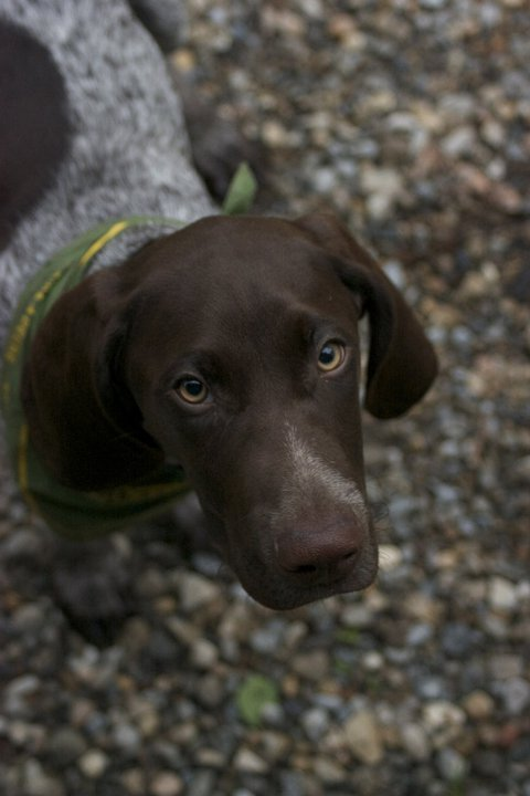 German Short haired Pointer-285032_10150703448705184_2024181_n.jpg