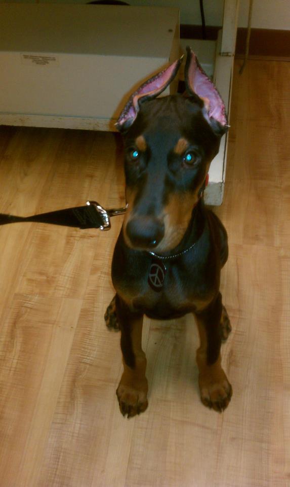 Cost Of Ear Cropping Doberman Forum Doberman Breed Dog Forums