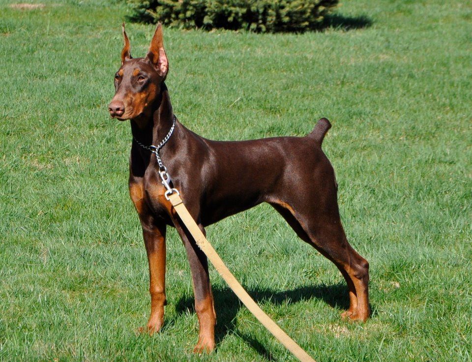 Doberman 5 months weight