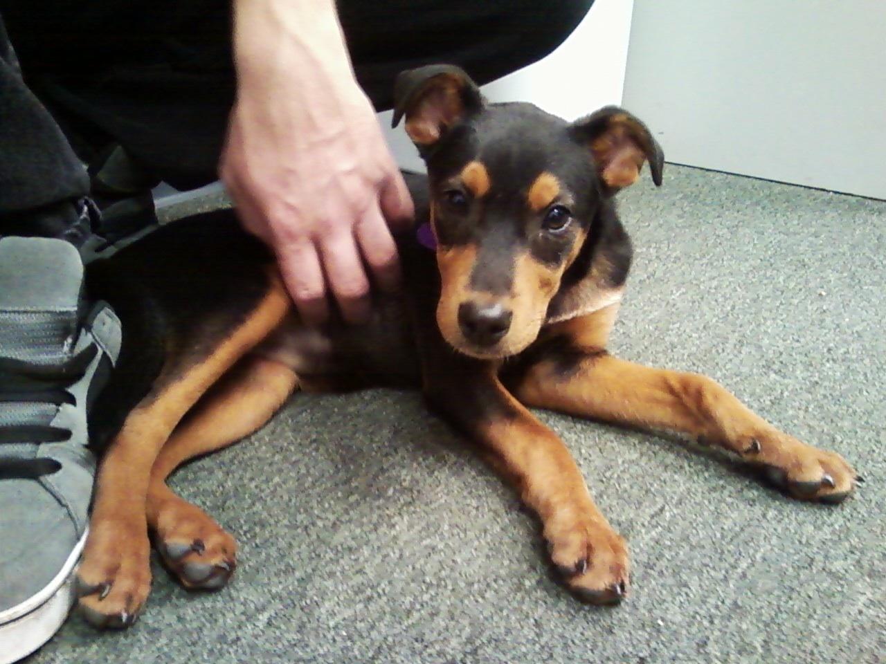 New Puppy  Mix question - Doberman Forum   Doberman Breed Dog ForumsDoberman German Shepherd Puppy