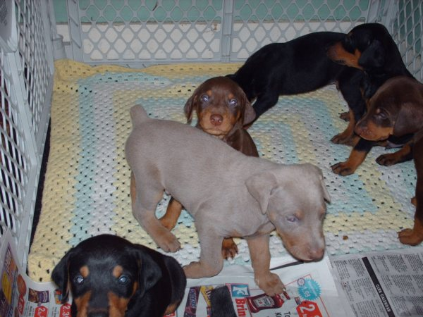 Hi new Dobie owner of 2 beautiful fawn pups-apollo-2-15-10.jpg