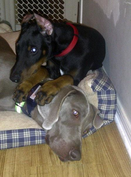A 15 week old Dobe pup, and a 1yr old Weimaraner...am I insane?-bruceoscar3.jpg