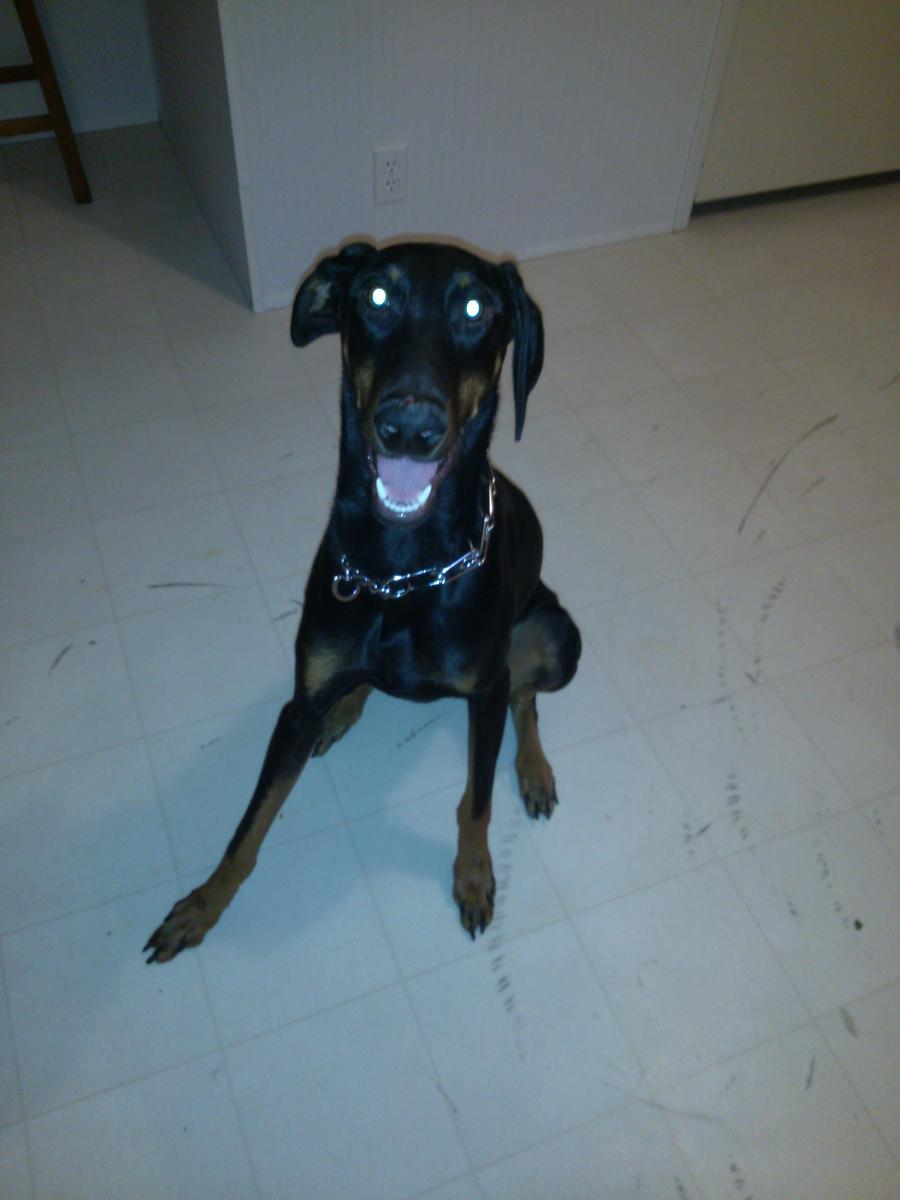Is my 1 yr dobie small?-cam00149.jpg