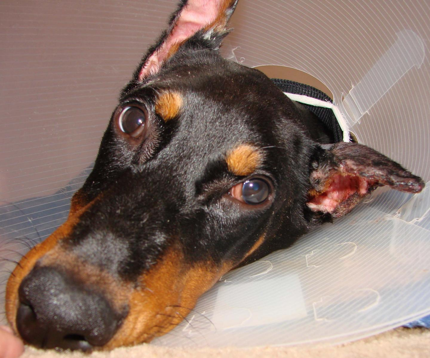 Cropped Ear Problem With Abscess Necrosis Doberman Forum
