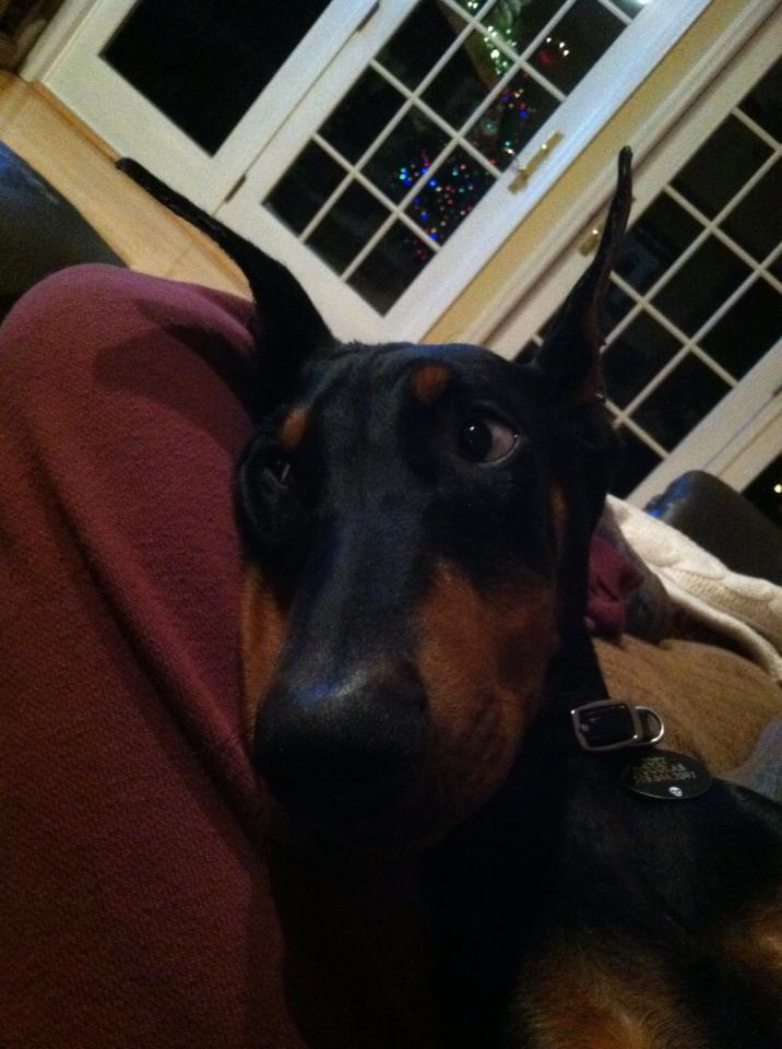 Traveling with my dobie pup...any advice?!-colt1.jpg