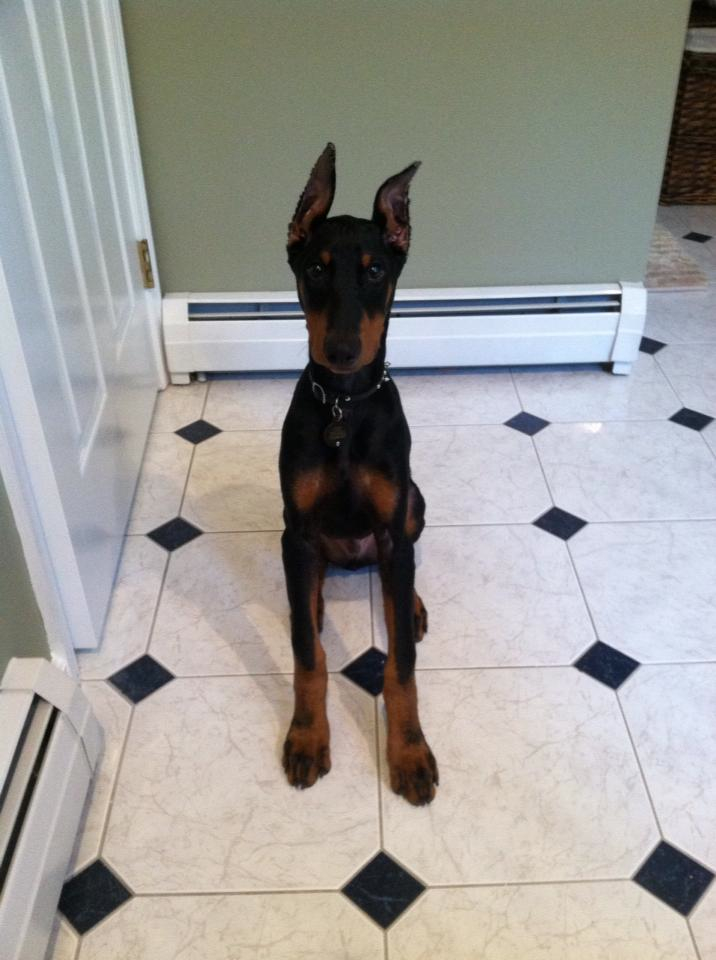 Traveling with my dobie pup...any advice?!-colt2.jpg