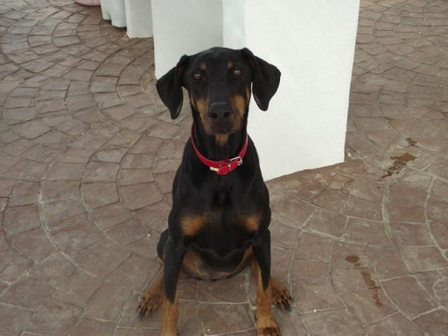 Doberman in Baza, Spain. Owner has died-daisy-dobbie.jpg