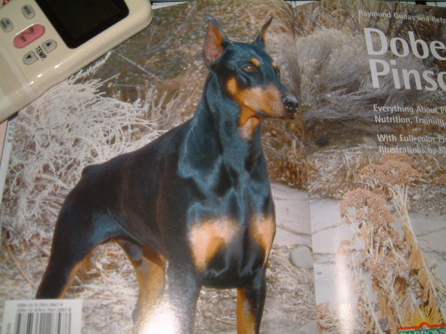 Displaying (18) Gallery Images For Doberman Working Crop...
