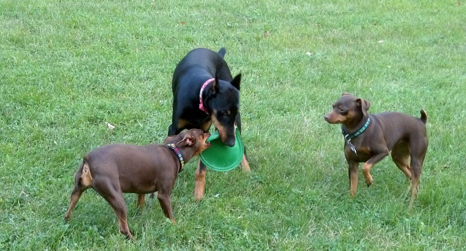 Adding a Dobe to our MinPin Pack-dogsplayfrisbee.jpg