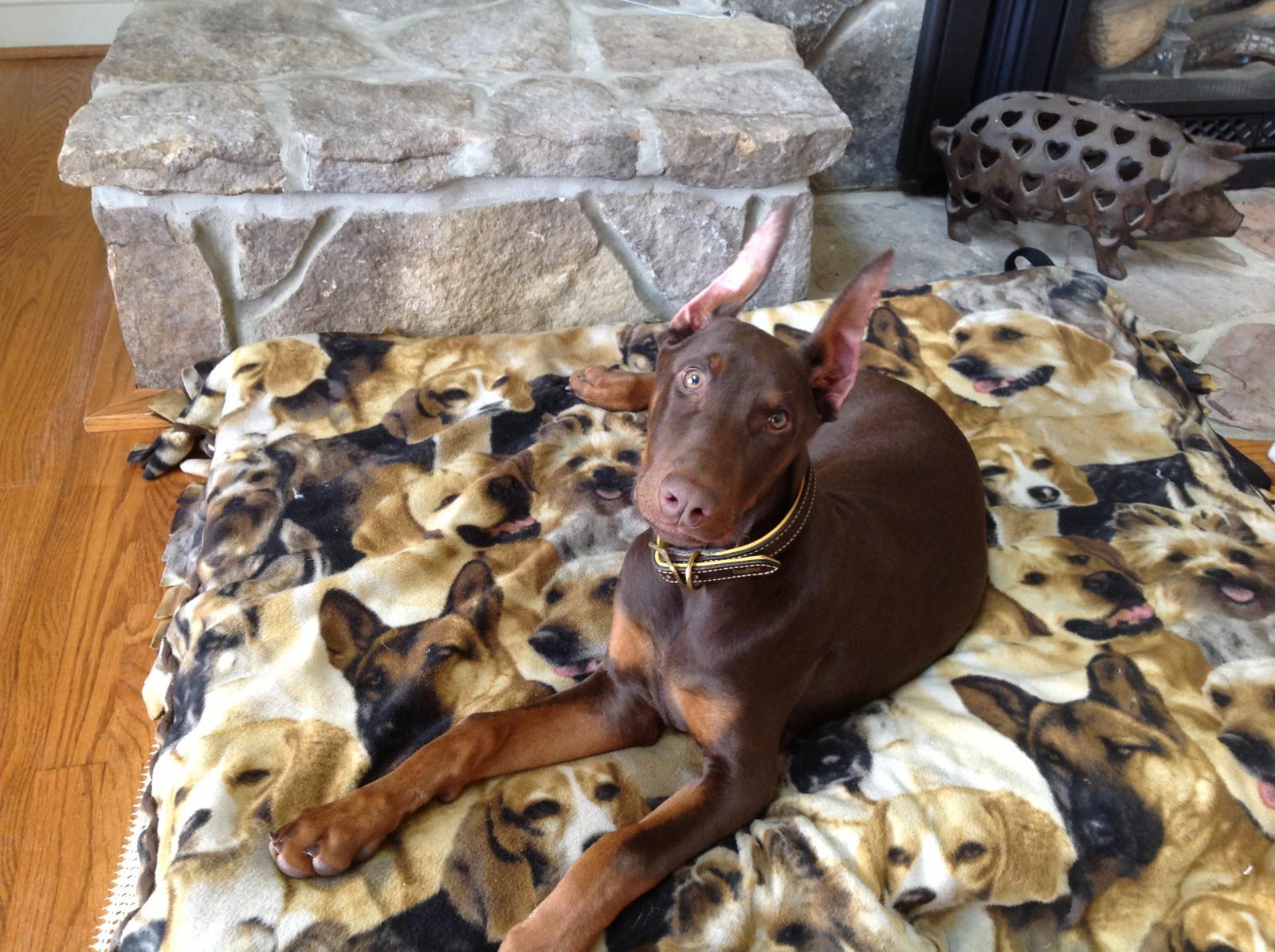 Cute Doberman Puppies For Sale In Texas Craigslist ...
