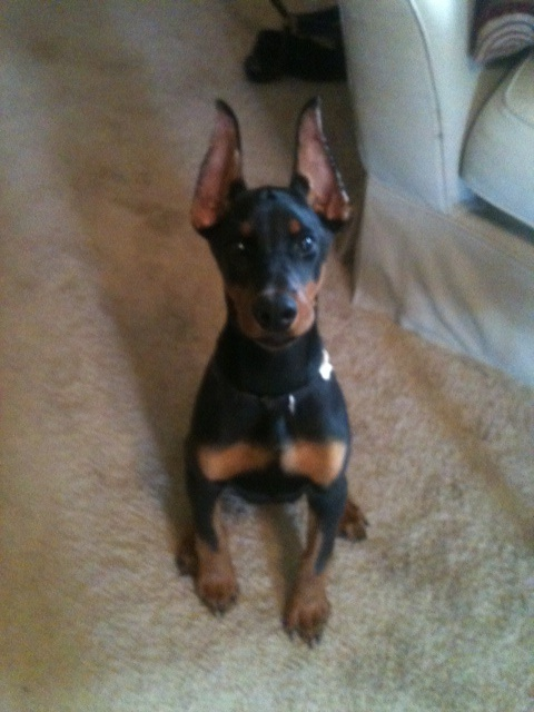 Doberman Ear Cropping Styles Medium Pictures to pin on Pinterest