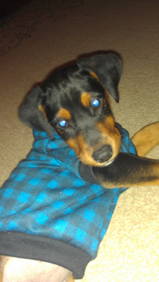 New to forum and New Dobie owner-emma.jpg