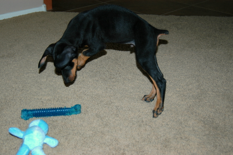 Doberman puppies 3 months old