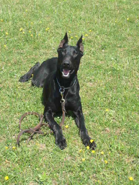 Black Doberman Dog