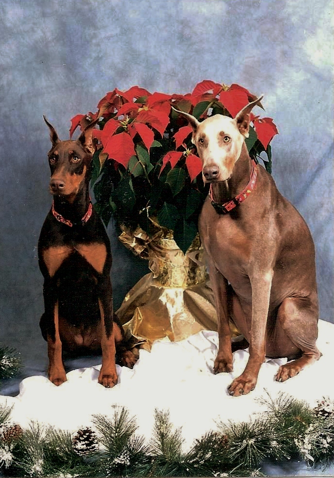 2014 Dobermantalk Calendar December Entries - Holiday Dobes-gus-reba.jpg