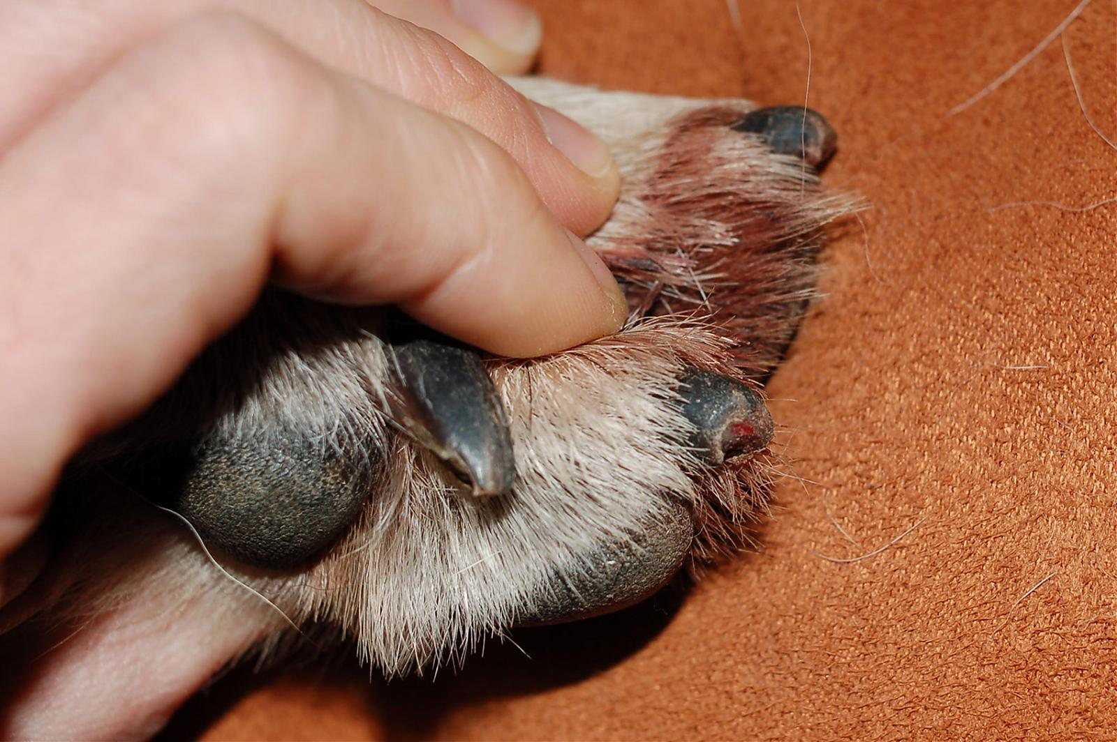Nubby Bloody Nails From Dragging Her Feet Doberman Forum