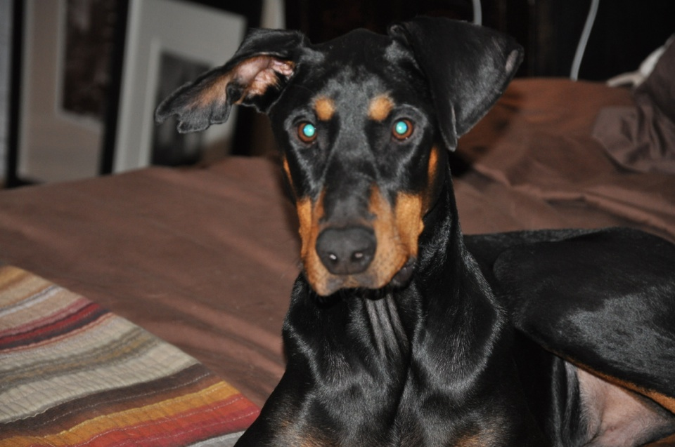 Lost Doberman-hunter.jpg