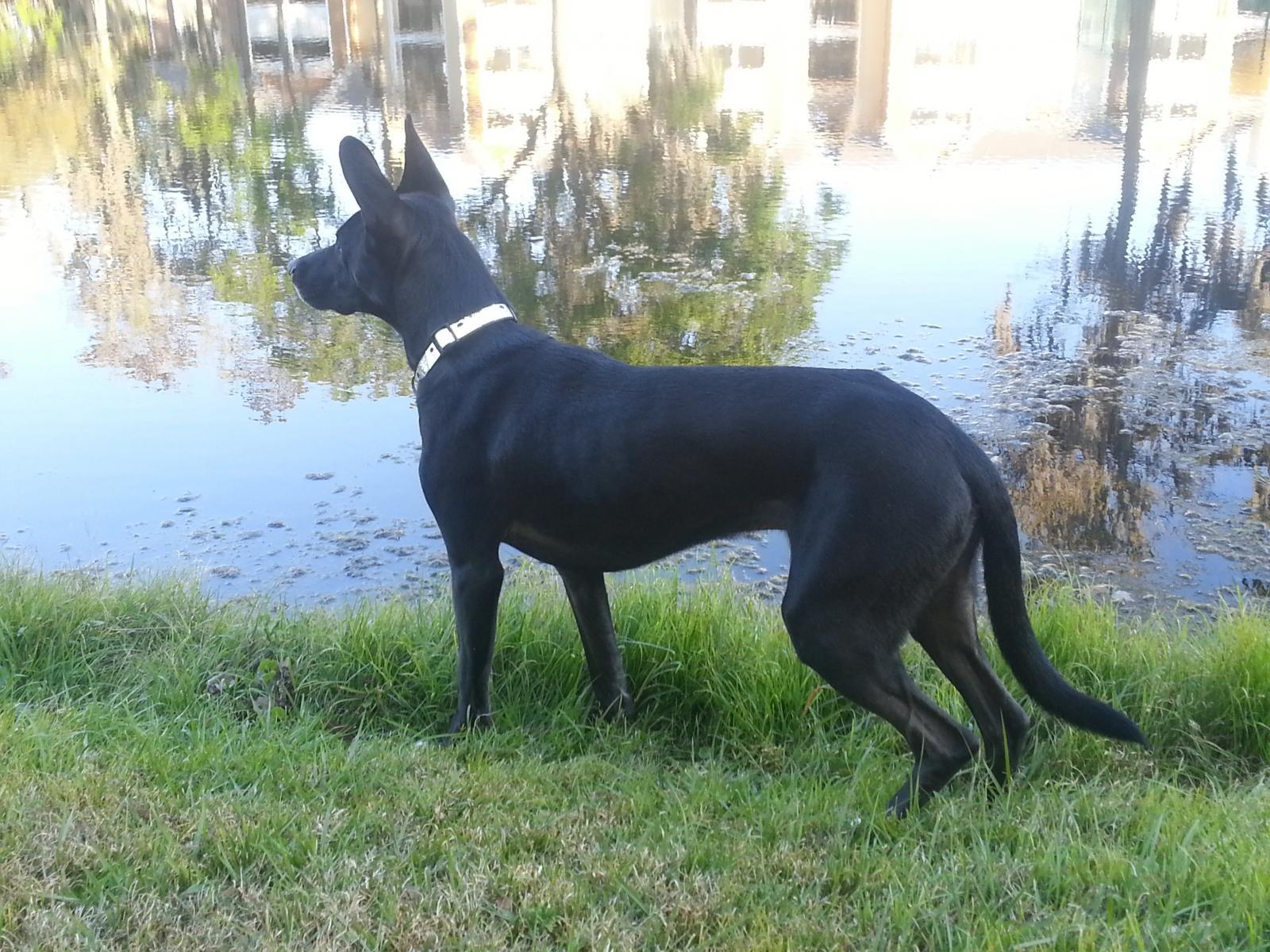 Doberman/German Shepherd Mix? - Doberman Forum : Doberman Breed Dog ...