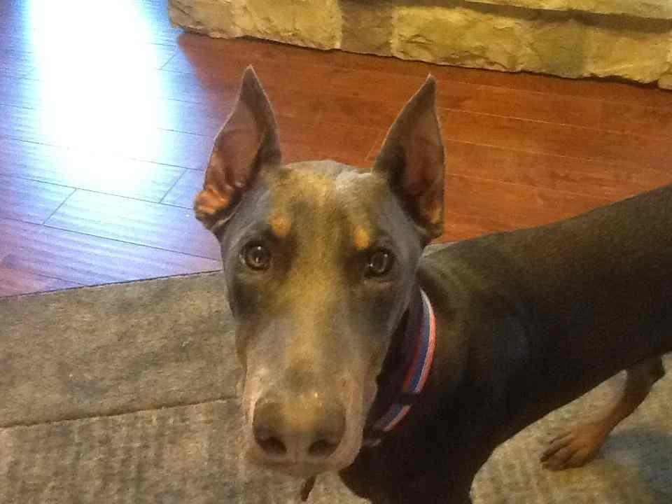 problem with ears? - Doberman Forum : Doberman Breed Dog Forums