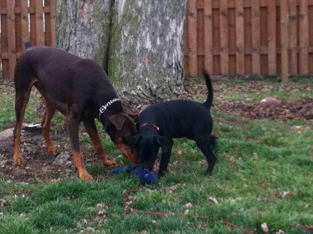 New puppy dislikes my dobe-imageuploadedbypg-free1356284455.199339.jpg