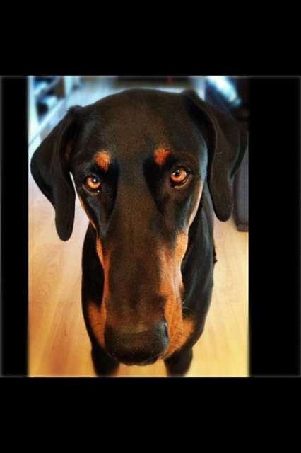 Your Dobermans and DCM (Dilated Cardiomyopathy)-imageuploadedbypg-free1357499905.656147.jpg