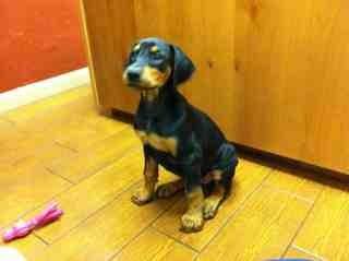 Spaz doberman pup-imageuploadedbypg-free1358959506.314218.jpg