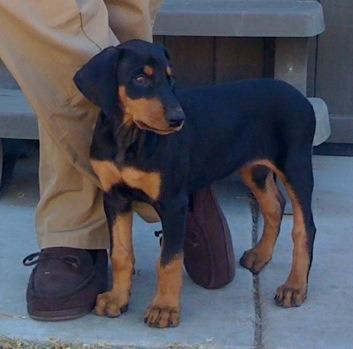 Spaz doberman pup-imageuploadedbypg-free1358959523.902056.jpg