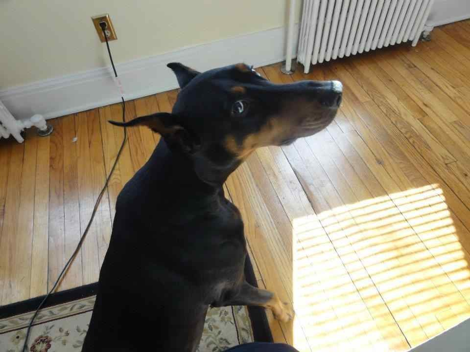 Looking/Begging for Advice for Paralyzed Dobe Recovery-imageuploadedbypg-free1359000338.502206.jpg