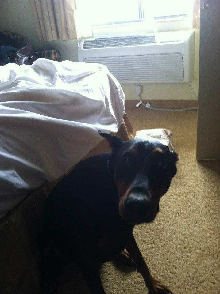 Looking/Begging for Advice for Paralyzed Dobe Recovery-imageuploadedbypg-free1359000371.565076.jpg