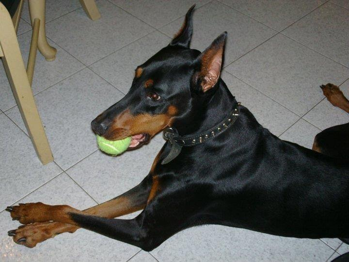 Looking/Begging for Advice for Paralyzed Dobe Recovery-imageuploadedbypg-free1359000661.578029.jpg