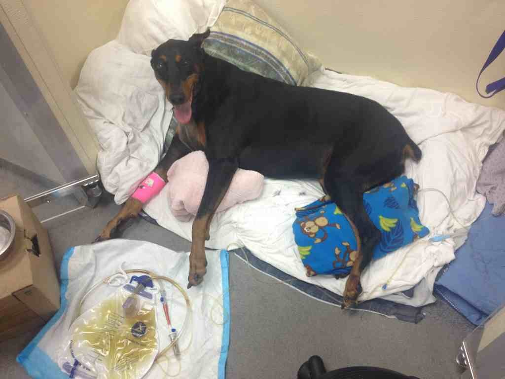Looking/Begging for Advice for Paralyzed Dobe Recovery-imageuploadedbypg-free1359000754.493152.jpg