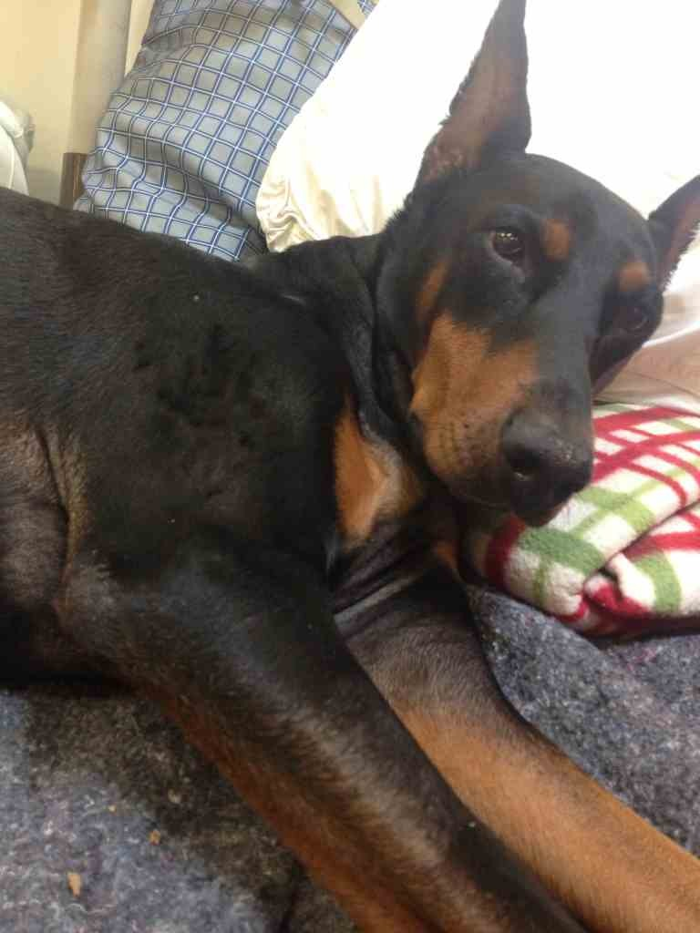 Looking/Begging for Advice for Paralyzed Dobe Recovery-imageuploadedbypg-free1359062190.420236.jpg
