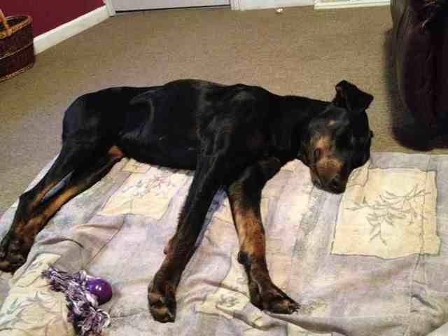 Let Sleeping Dogs Lie Doberman Forum Doberman Breed Dog Forums