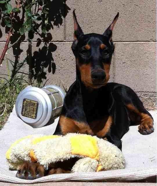 High drive puppy-help!-imageuploadedbypg-free1363408394.670448.jpg
