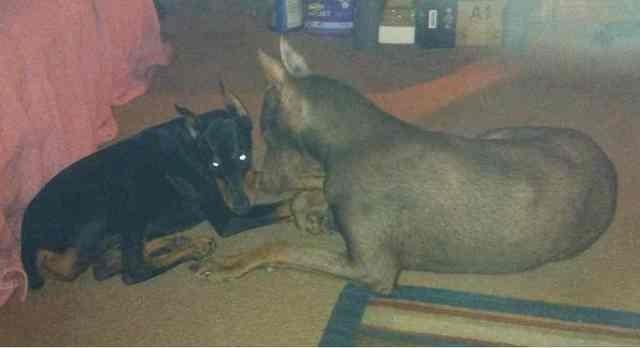 High drive puppy-help!-imageuploadedbypg-free1363588708.588905.jpg