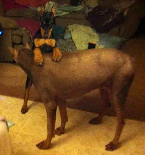 High drive puppy-help!-imageuploadedbypg-free1363588856.270331.jpg