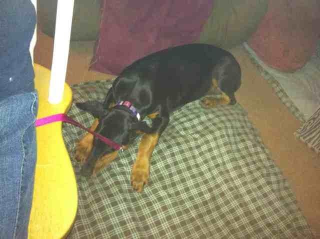 High drive puppy-help!-imageuploadedbypg-free1363662958.053879.jpg