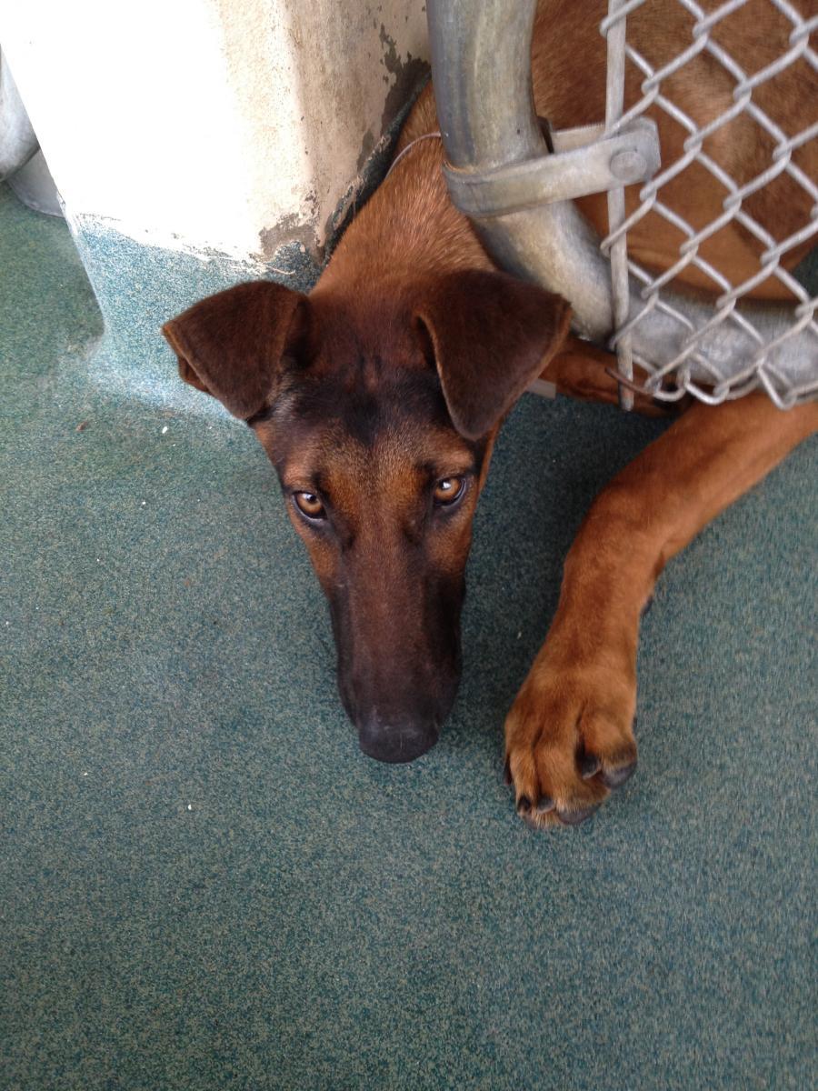 Doberman Greyhound Mix Unique Dog Breeds Doberman Mix Hybrid Dogs
