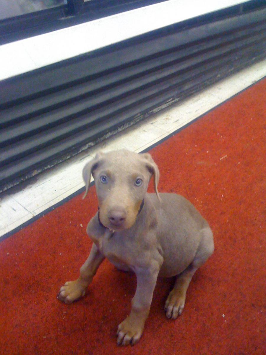 Hello New Here I Got A Few About My Doberman With Pictures Doberman Forum Doberman Breed Dog Forums