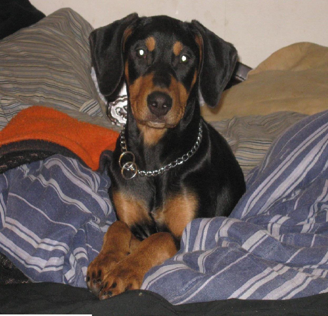 My First Doberman-img_0684.jpg