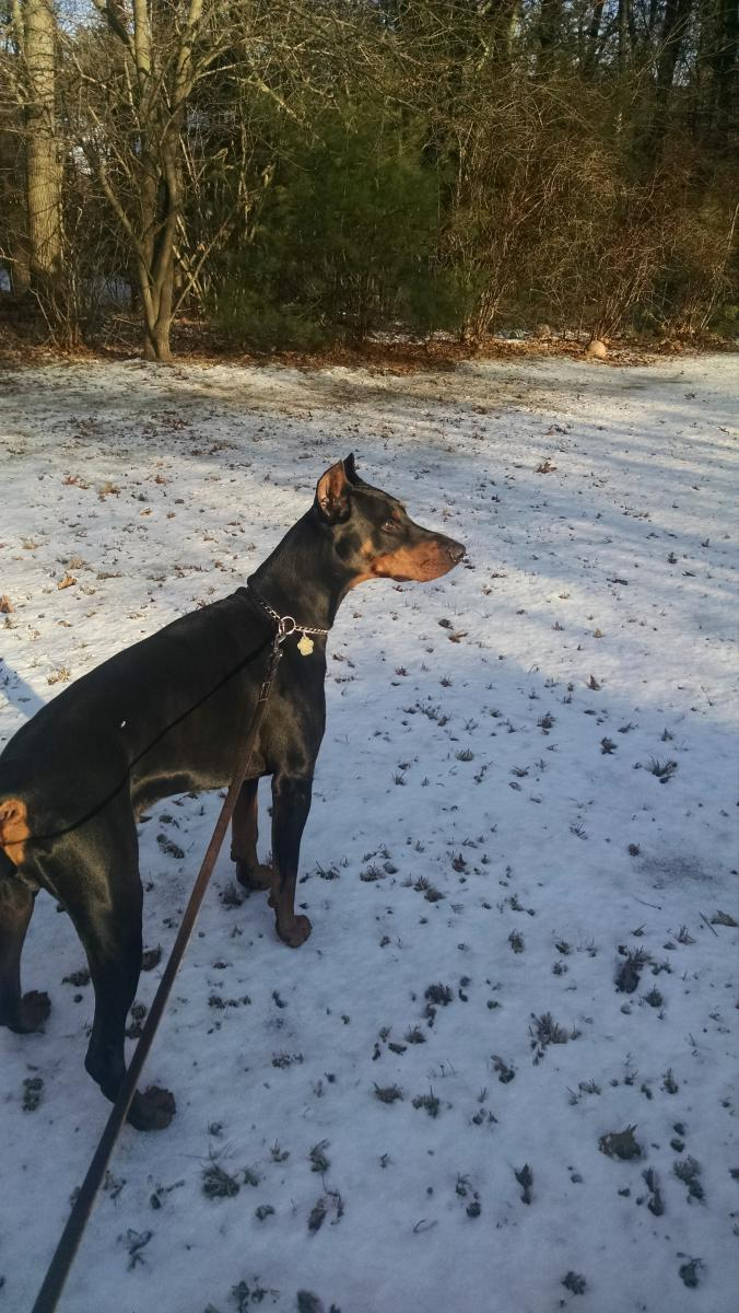 Can I Handle Dog Sitting An Intact Male For 9 Months Page 2 Doberman Forum Doberman Breed