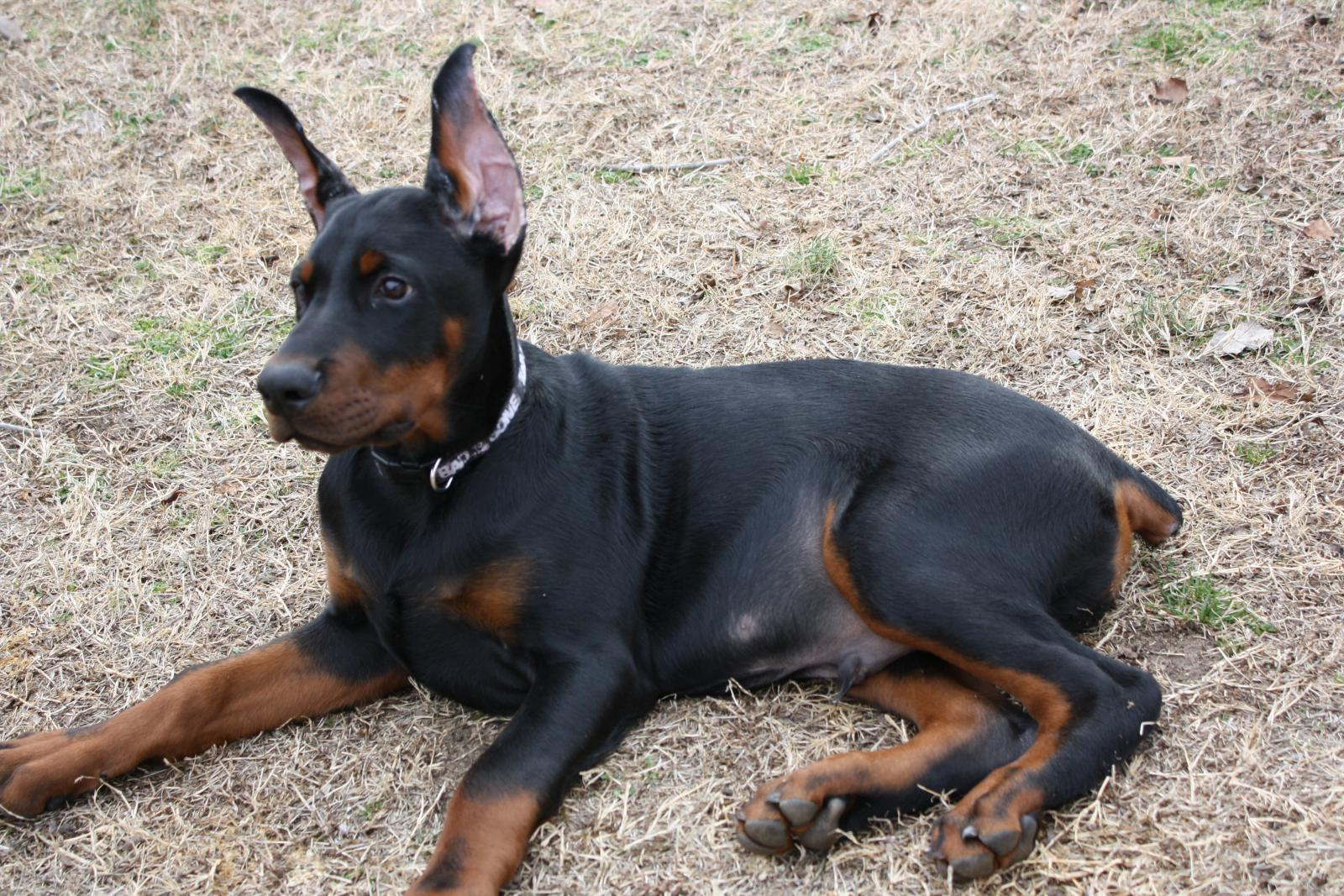 Price For Cropping Doberman Ears