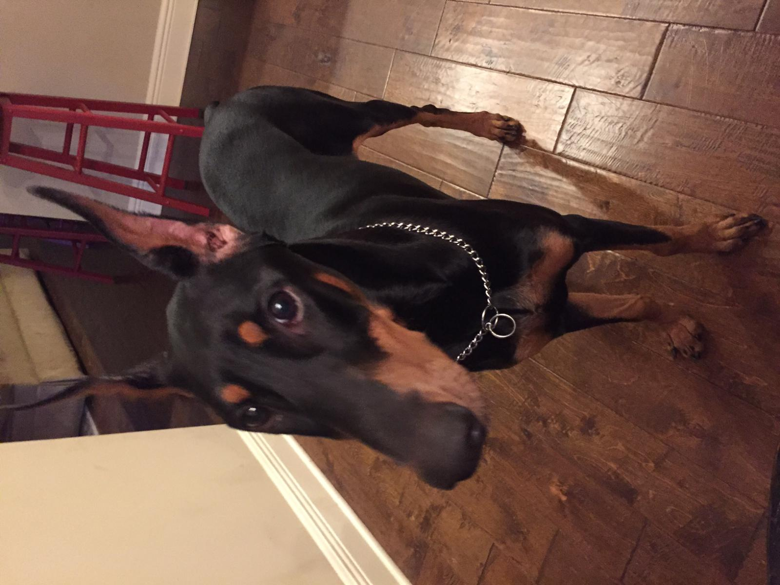 Knuckling and or easty westy - Page 2 - Doberman Forum