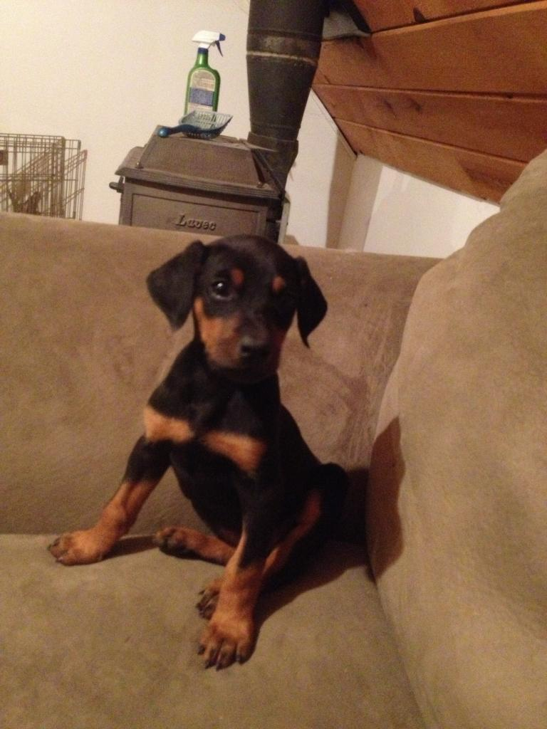 Is my 8 week old doberman puppy underweight?-iphone12-4-12041.jpg