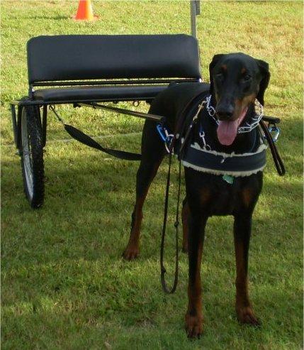 Dog cart - Doberman Forum : Doberman Breed Dog Forums