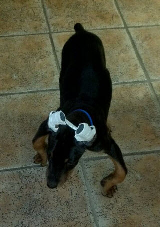 What to do about knuckling over? - Doberman Forum : Doberman
