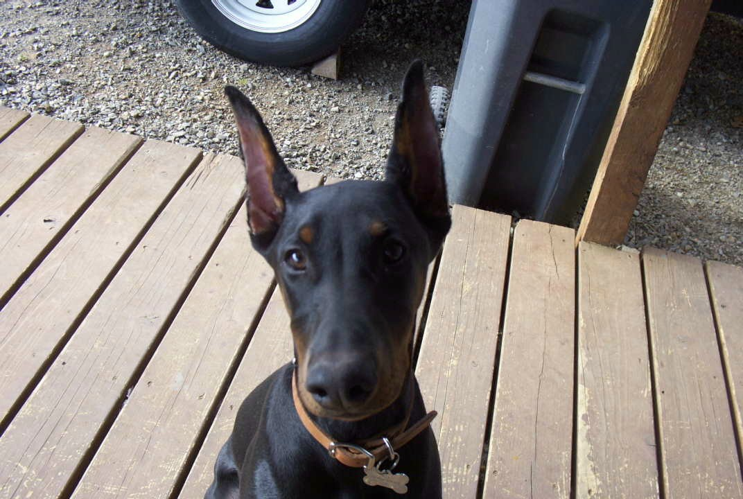 military or short ear crop Doberman-miadeck.jpg