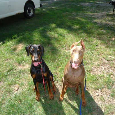 Hello from Indiana with 2 dobies-mydobies.jpg